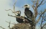 Sukurtas filmas apie kormoranų koloniją