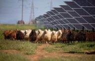Kuršėnuose – pirmasis saulės parkas Lietuvoje, šienaujamas baltiškų avių
